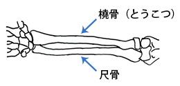 手首の骨(橈骨と尺骨)