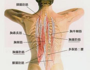 図:胸腸肋筋