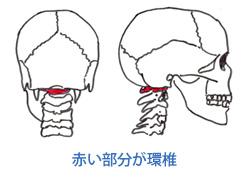 赤い部分が環椎
