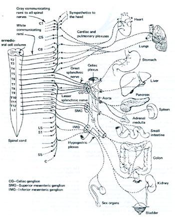 交感神経は背骨の間から出ている